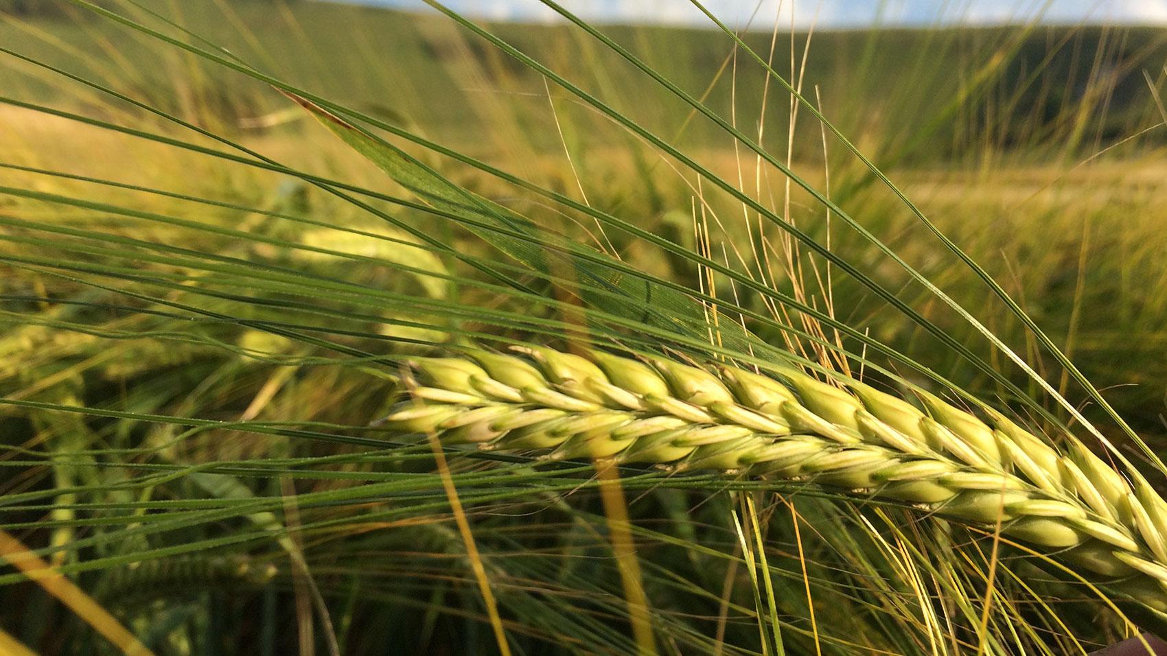 Long Man Barley